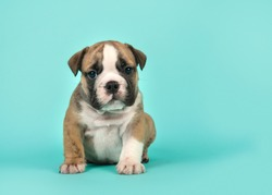 English bulldog puppy looking at the camera sitting on a turquoise blue background