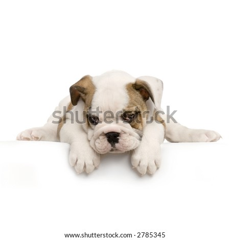 english Bulldog puppy lying down in front of white background - stock photo