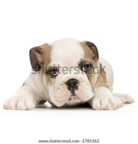 english Bulldog puppy lying down in front of white background and looking at the camera
