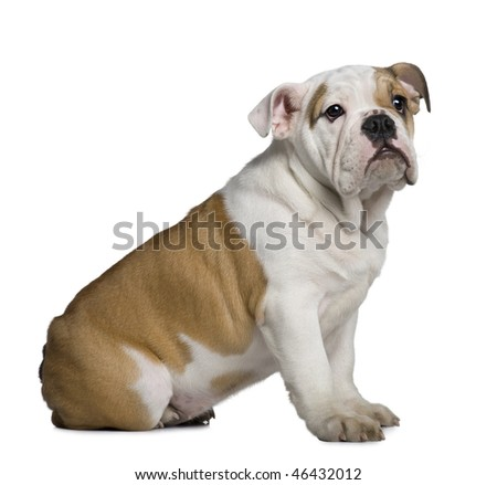English Bulldog puppy, 3 months old, sitting in front of white background - stock photo
