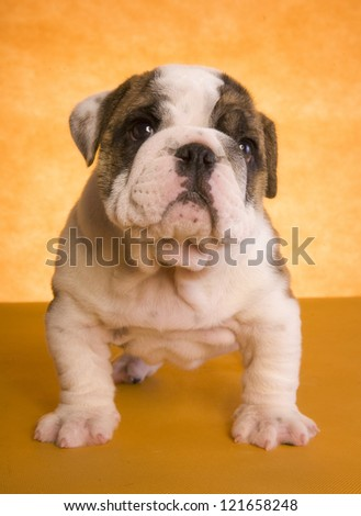 English Bulldog puppy on gold background