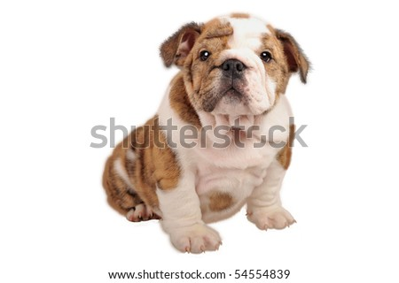 English bulldog puppy on pure white background