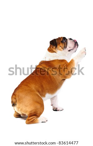 english bulldog puppy sitting holding paw up