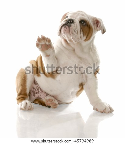 english bulldog puppy sitting holding paw up to viewer