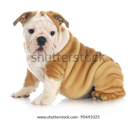 english bulldog puppy sitting looking at viewer with reflection on white background - 11 weeks old - stock photo