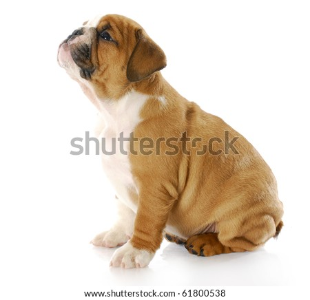 english bulldog puppy sitting looking up with reflection on white background