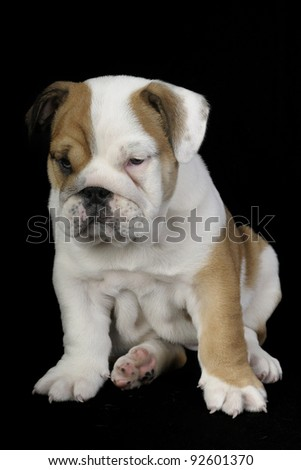 English bulldog puppy sitting on black background - stock photo