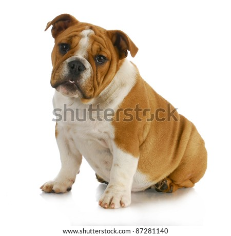 english bulldog puppy sitting with reflection on white background - 4 months old