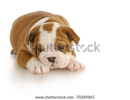 english bulldog puppy - six weeks old on white background