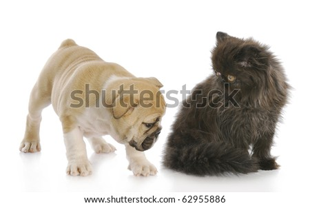english bulldog puppy sniffing backside of persian kitten with reflection on white background