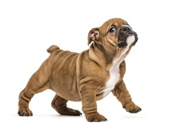 English bulldog puppy standing, isolated on white
