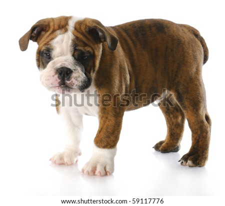 english bulldog puppy standing - nine weeks old