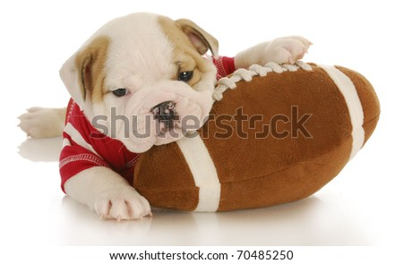 english bulldog puppy wearing football jersey laying on stuffed football