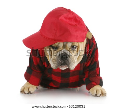 english bulldog puppy wearing plaid shirt and trucker hat with reflection on white background