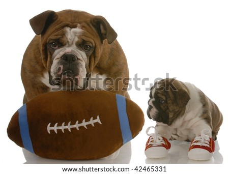 english bulldog puppy wearing running shoes sitting beside dad ready to teach the game