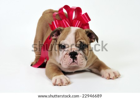 English bulldog puppy with a bow , waiting to be given as a present.