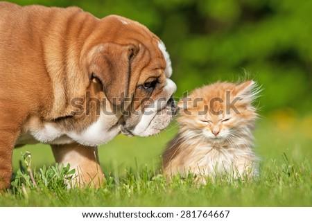 English bulldog puppy with a little kitten