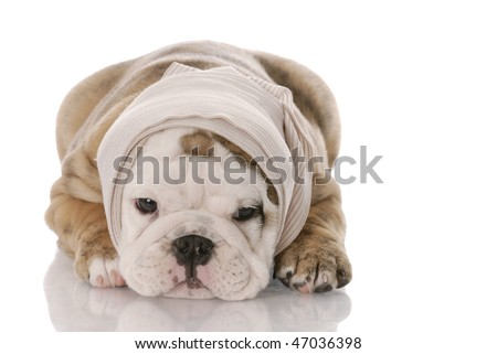 english bulldog puppy with bandage around head laying down with reflection on white background