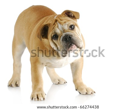 english bulldog puppy with cute expression standing with reflection on white background