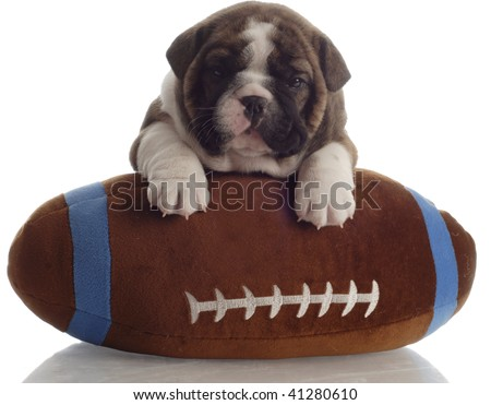 english bulldog puppy with paws up on a stuffed football - 4 weeks old