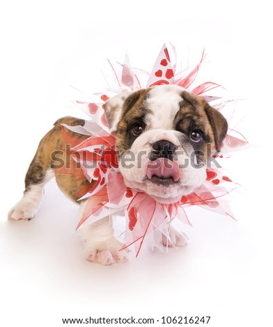 English Bulldog puppy with red and white heart necklace isolated on white