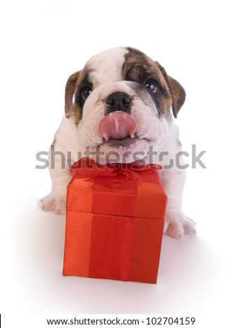 English bulldog puppy with red gift box isolated on white