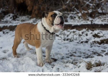 English bulldog puppy with surprise on his face, standing in the snow