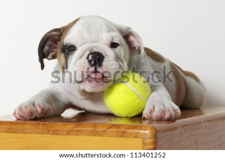English Bulldog Puppy with Tennis Ball