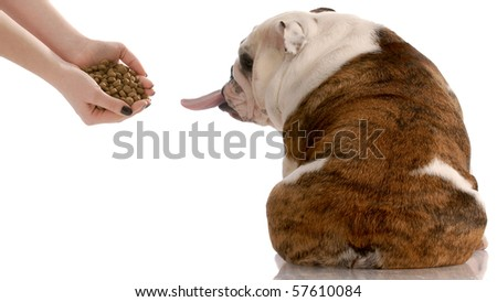 English bulldog refusing to eat food that is offered