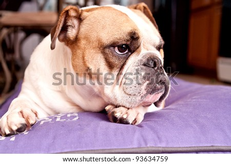 English Bulldog resting on a lilac bed looking away from the camera - stock photo