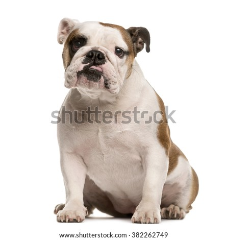 English Bulldog sitting and looking at the camera, isolated on white Stock photo ©