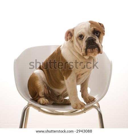 English Bulldog sitting in modern chair looking at viewer.