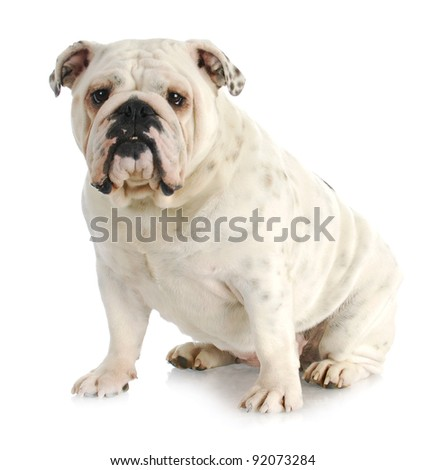 english bulldog sitting looking at viewer on white background - one year old