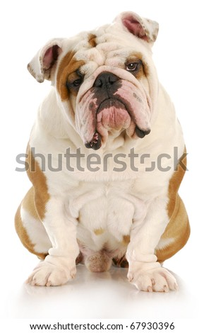 english bulldog sitting looking at viewer with reflection on white background