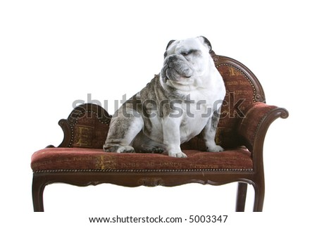 Bored English Bulldog English Bulldog Sitting on a