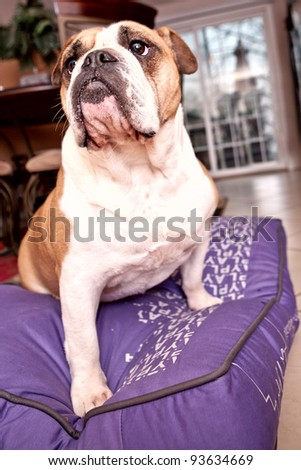 English Bulldog sitting on a lilac bed looking away from the camera