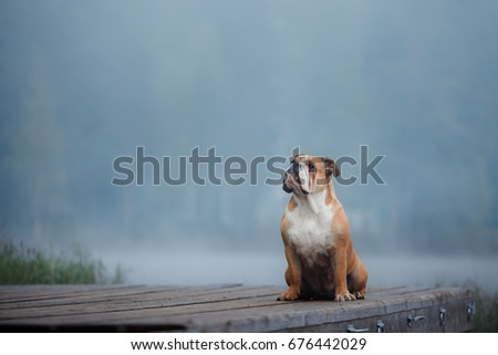 English Bulldog sitting on a wooden pier on the lake. Dog outdoor #676442029