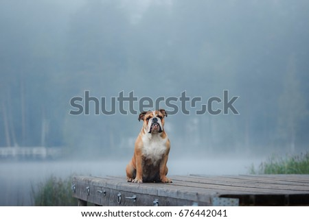 English Bulldog sitting on a wooden pier on the lake. Dog outdoor #676442041