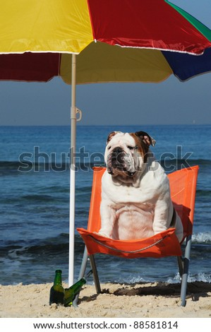 English bulldog sitting on the beach under parasol with a beer.