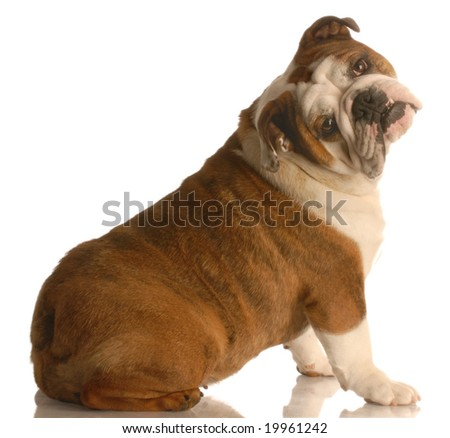 english bulldog sitting with her head tilted on funny angle