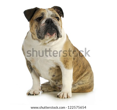 english bulldog sitting with reflection on white backgroundn- female