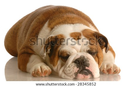 english bulldog sleeping isolated on white background