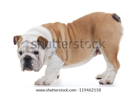 English bulldog standing in front of white background, profile, looking at camera - stock photo