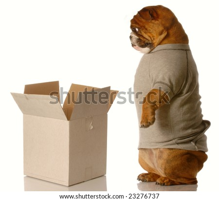 english bulldog standing looking down into cardboard box - shipping or moving concept