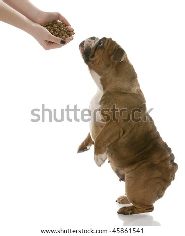 english bulldog stretching up to get a hand full of dog food