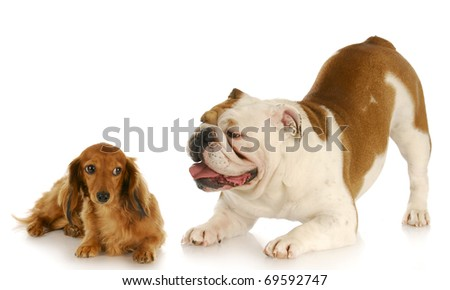 english bulldog trying to convince dachshund to play with reflection on white background