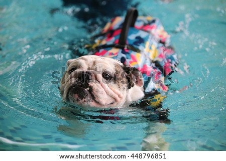 bulldog life vest english bulldog wear life jacket swim in swimming pool 7807
