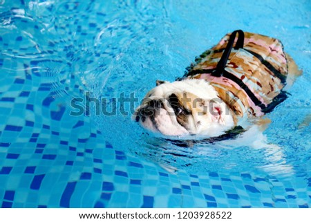 English bulldog wear life jacket swim in swimming pool, dog