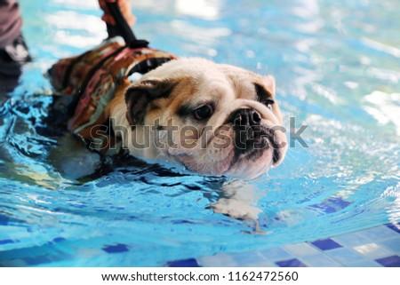 free photos english bulldog wear life jacket swim in swimming pool