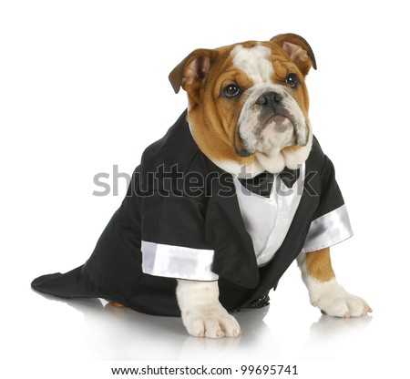english bulldog wearing black tuxedo and tails on white background - stock photo